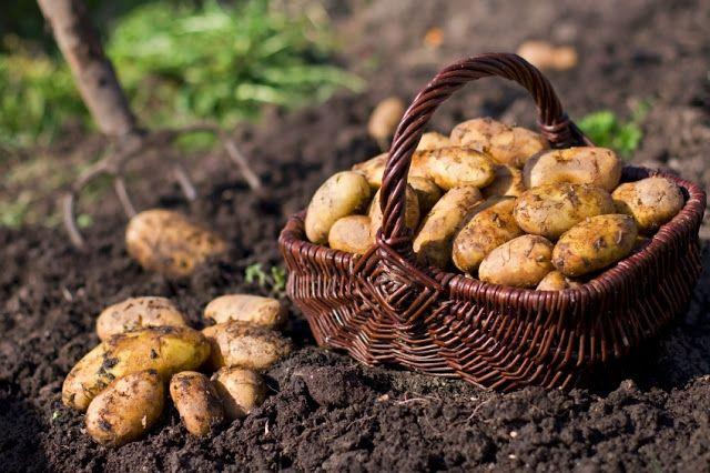 Борьба с картофельным проволочником