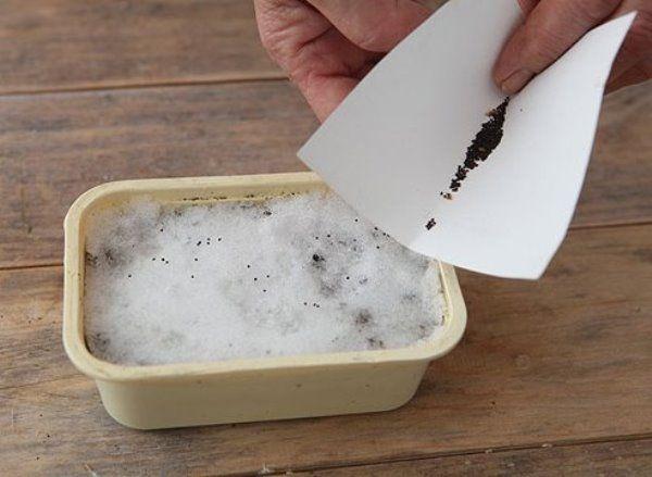 Как вырастить ростки примулы