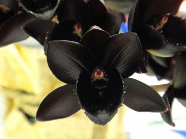 Цветок черная орхидея