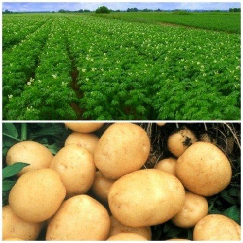 Использование удобрений для картофеля