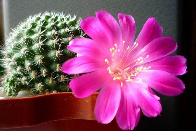 Как ухаживать чтобы кактусы цвели