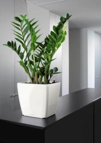 Как ухаживать за замиокулькасом в домашних условиях