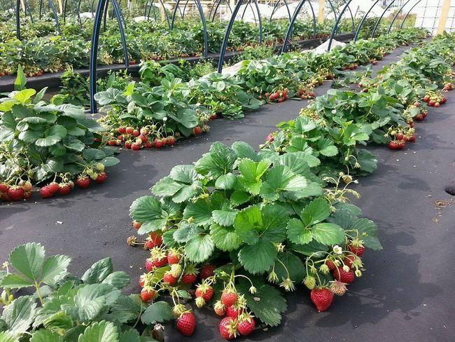 Как выращивать клубнику