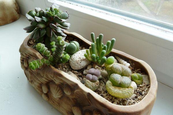 Литопсы: выращивание и содержание