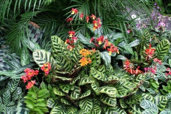 фото цветка маранты