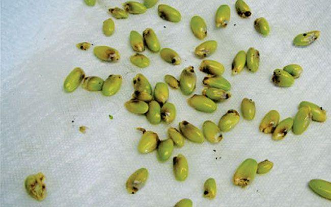 Размножение монтеры семенами