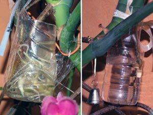 Размножение монтеры черенками