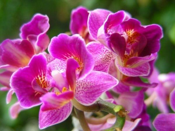 Орхидея дендробиум в домашних условиях