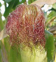 кукурузное рыльце
