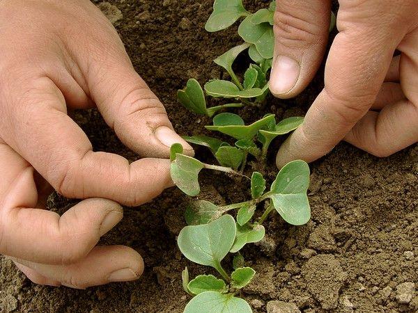 ростки редиса