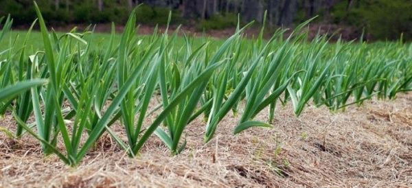 зеленый чеснок