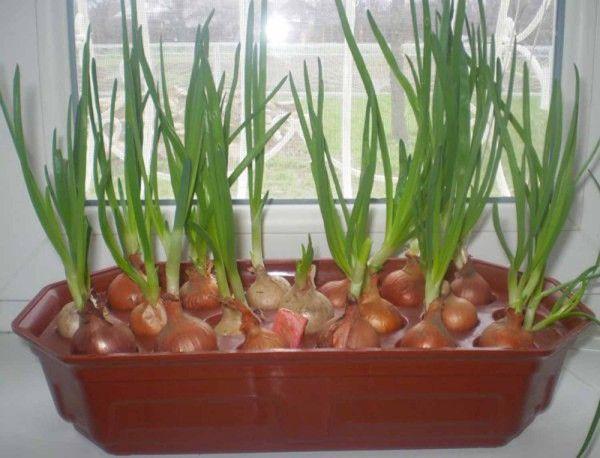 Сажаем и выращиваем урожай крупного лука-батуна