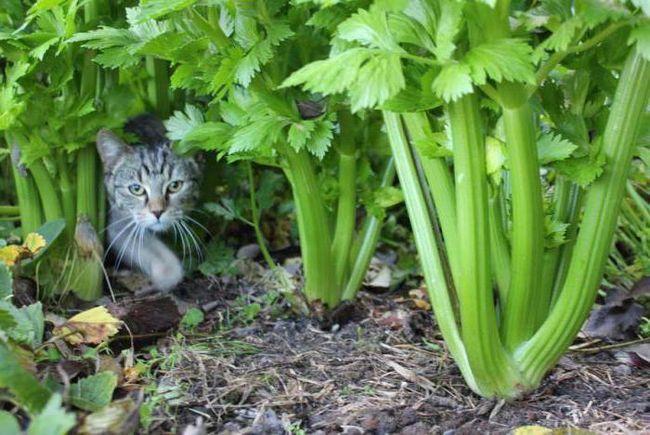 кошка в сельдерее