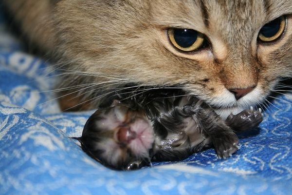 Срок беременности у кошек