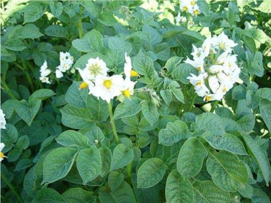 Средства защиты картофеля от вредителей и болезней