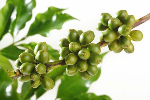 зеленый кофе