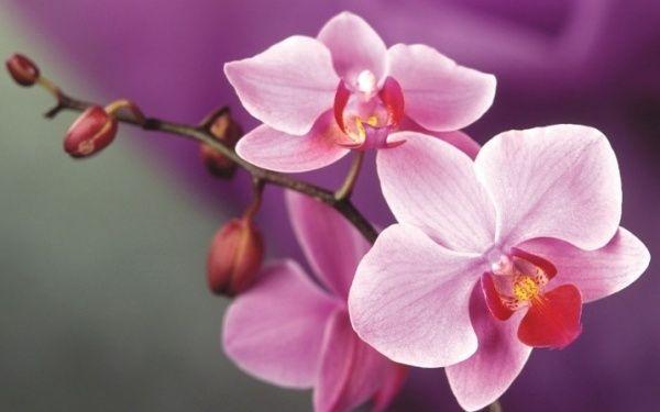 Виды домашних орхидей