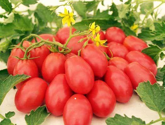 Выбираем сорт помидоров