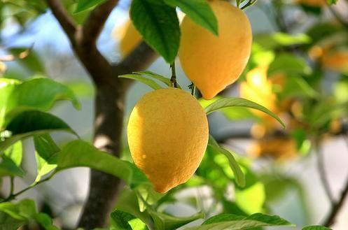 Выращиваем в домашних условиях лимон