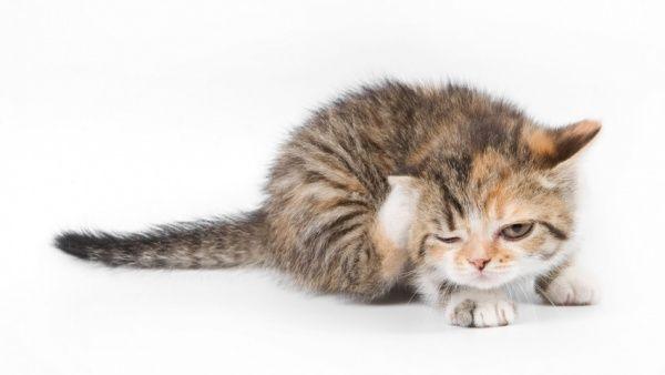 Выводим блох у кошки: капли, ошейники, шампуни