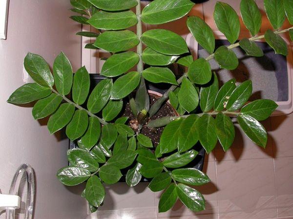 Замиокулькас - цветок безбрачия