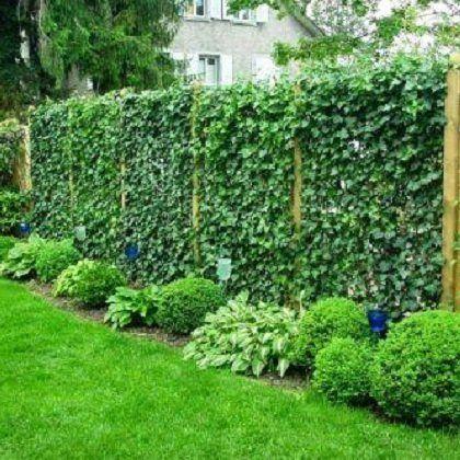 Живая изгородь из плюща, как правильно посадить и вырастить
